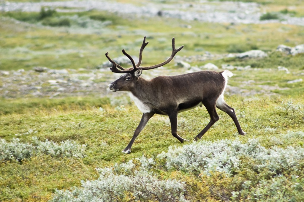 Reindeer in tundra- one of the hunted species with diverse migratory patterns